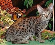 Ocicat kittens for sale