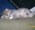 Persian / Himalayan kittens for sale
